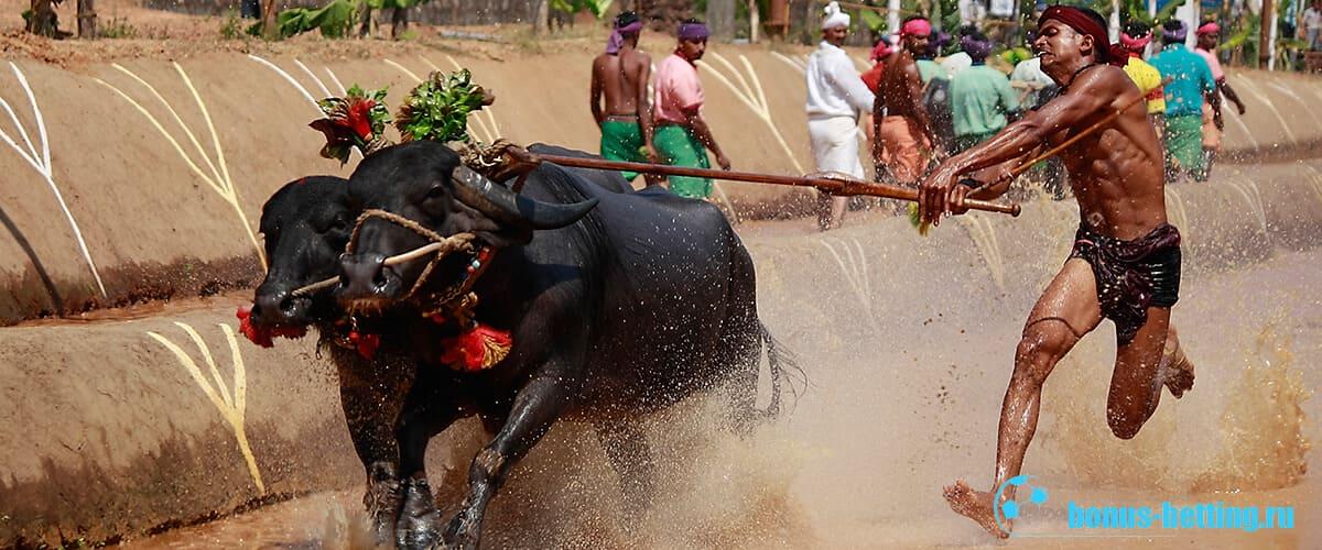 Гонки буйволов в Индии