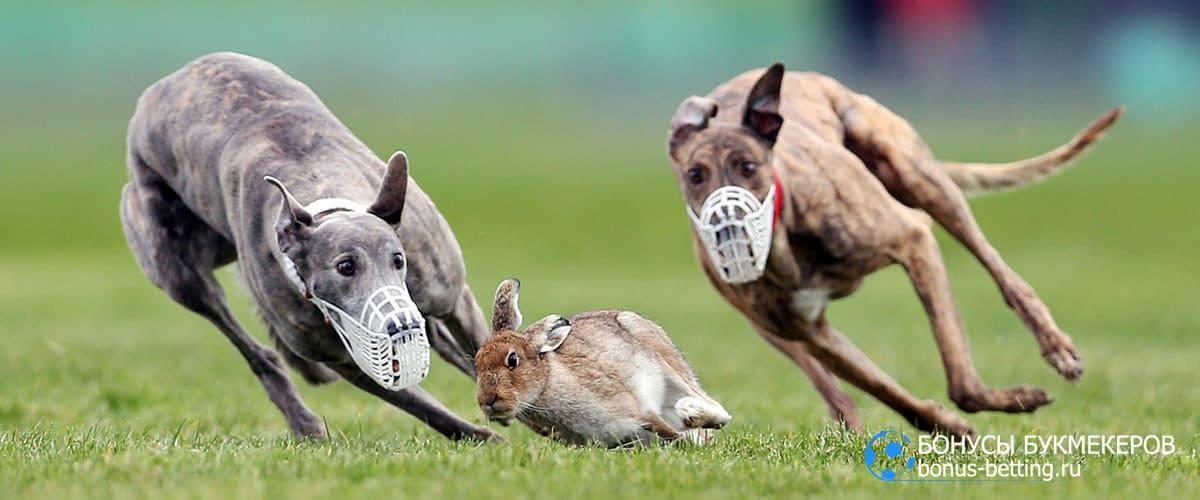 Собачьи бега за зайцем